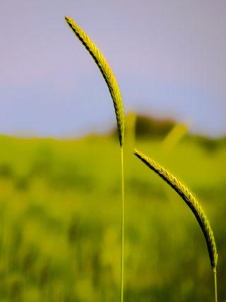 Обои на телефон цветы, цветочные, пшеница, природа, листья, one