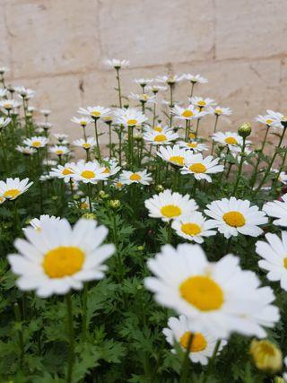 Обои на телефон маргаритка, цветы, papatyalar