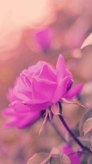 Обои на телефон лепестки, романтика, розы, розовые, новый, любовь, листья, крутые, love