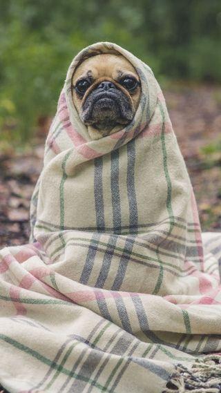 Обои на телефон питомцы, собаки, мопс, pug in blanket, blanket