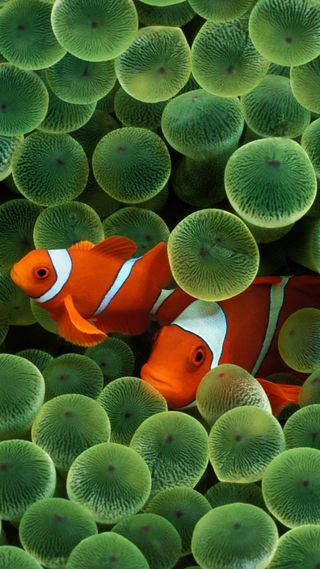 Обои на телефон питомцы, немо, клоун, рыба, животные, hd, clown fish, aquatics