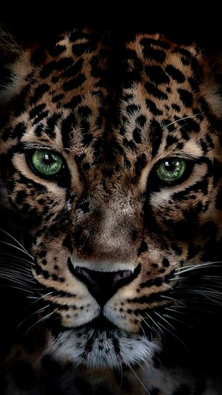 Обои на телефон леопард, дикие