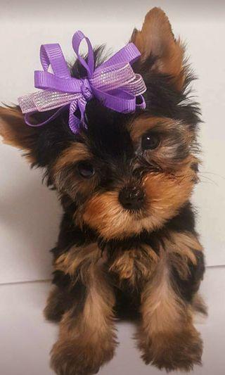 Обои на телефон щенки, принцесса, собаки, питомцы, номер, малыш, yorkie, princess number 1