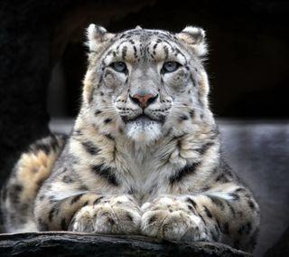 Обои на телефон снег, леопард
