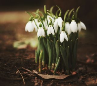 Обои на телефон весна, цветы, белые, snowdrops