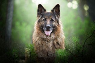 Обои на телефон полиция, собаки, приятные, немецкие, животные, shepherd