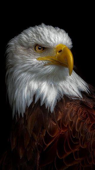 Обои на телефон страна, птицы, орел, животные, америка