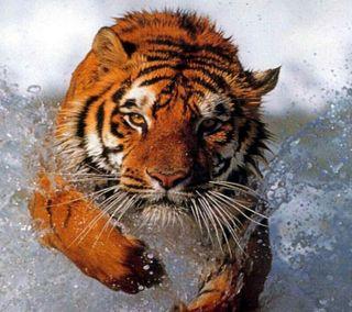 Обои на телефон мокрые, тигр, бег
