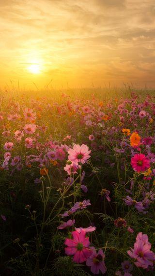 Обои на телефон восход, цветы, утро, солнце, розовые, природа, прекрасные