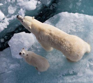 Обои на телефон отец, медведь, лед, белые, iceberg, father and son