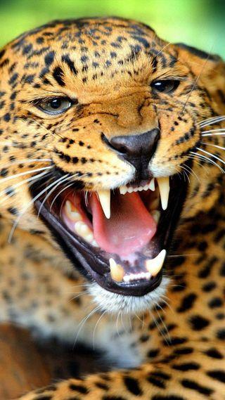 Обои на телефон леопард, злые