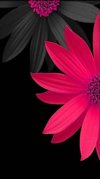 Обои на телефон маргаритка, черные, цветы, фон, серые, розовые, pink daisy