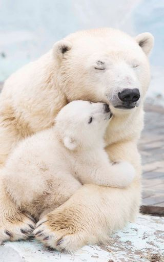 Обои на телефон полярный, медведи, медведь, зима