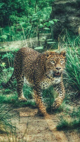 Обои на телефон хищник, леопард, природа, кошки, животные, африка