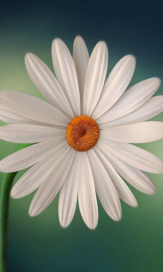 Обои на телефон маргаритка, цветы, природа, любовь, лето, крутые, зеленые, галактика, love, galaxy, druffix, daisy hd no1