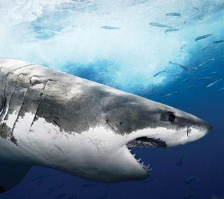 Обои на телефон хищник, океан, море, дикая природа, великий, белые, акула, great white