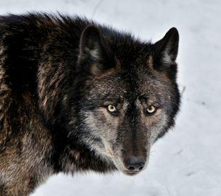Обои на телефон хищник, охотник, животные, дикие, волк