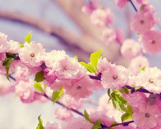 Обои на телефон вишня, цветы, цвести, розовые, весна, cherry blossom