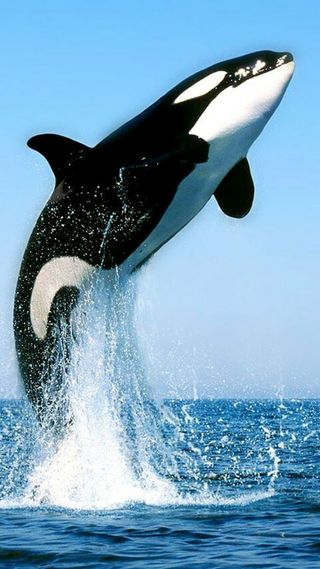 Обои на телефон киллер, черные, море, кит, белые, whales, killer whale