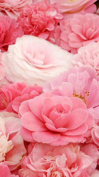 Обои на телефон мягкие, цветы, розовые, soft pink