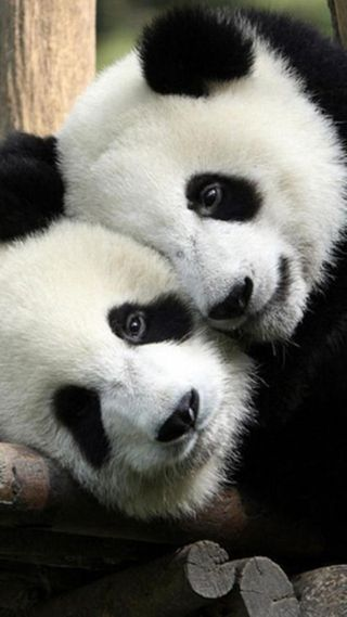 Обои на телефон панда, пара