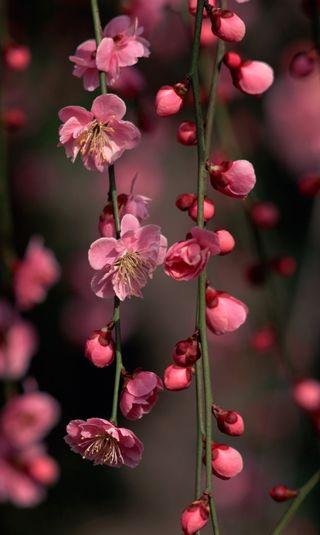 Обои на телефон вишня, цветы, цвести