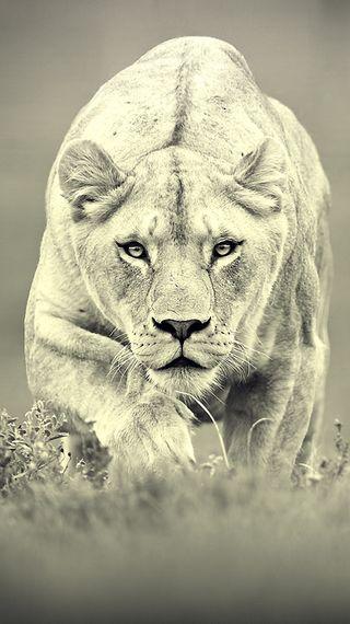 Обои на телефон джунгли, пустыня, природа, лев, король, животные, белые, share