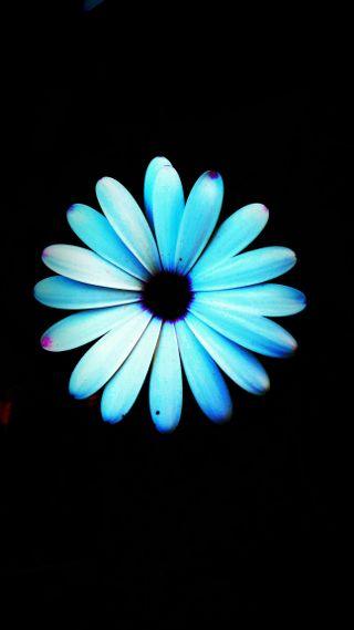 Обои на телефон синие, цветы, маргаритка