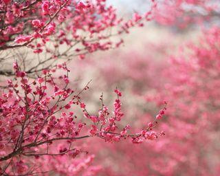 Обои на телефон вишня, цветы, цвести, сакура, розовые, природа, hd