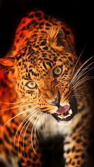 Обои на телефон леопард, кошки, животные, взгляд, wold