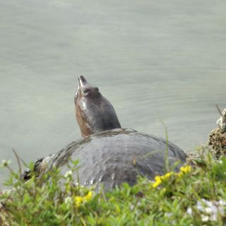 Обои на телефон черепаха, рептилия, природа, мышление, thinking turtle