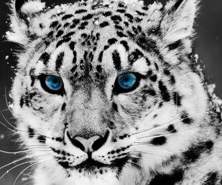 Обои на телефон хищник, тигр, синие, животные, глаза, белые