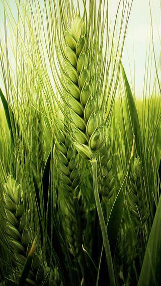 Обои на телефон уникальные, самсунг, пшеница, новый, зеленые, естественные, андроид, айфон, samsung, iphone, green wheat spike, android