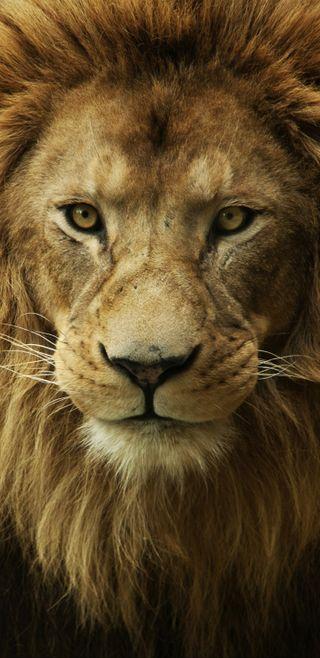Обои на телефон лев, животные, singham, fearce