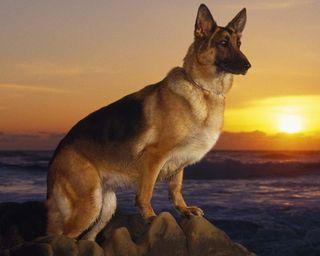 Обои на телефон собаки, океан, море, закат, животные, волк