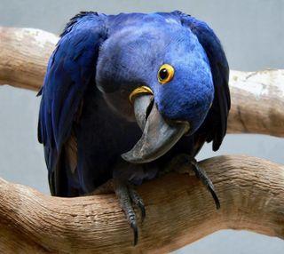 Обои на телефон попугай, синие, крутые, классные, дерево, blue parrot