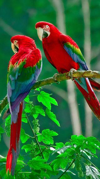 Обои на телефон попугай, uccelli pappagalli, pappagalli