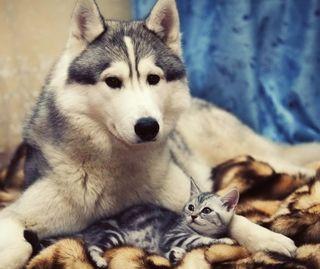 Обои на телефон суббу, котята, волк