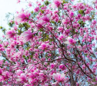 Обои на телефон весна, magnolia