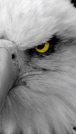 Обои на телефон птицы, орел