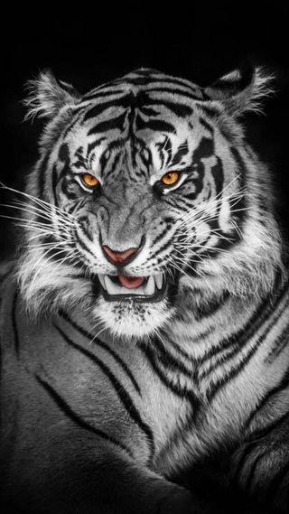 Обои на телефон дикие, черные, тигр, лицо, животные, белые