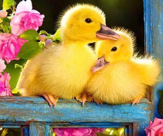 Обои на телефон сад, розы, розовые, милые, маленький, животные, весна, little ducks, 960x800px