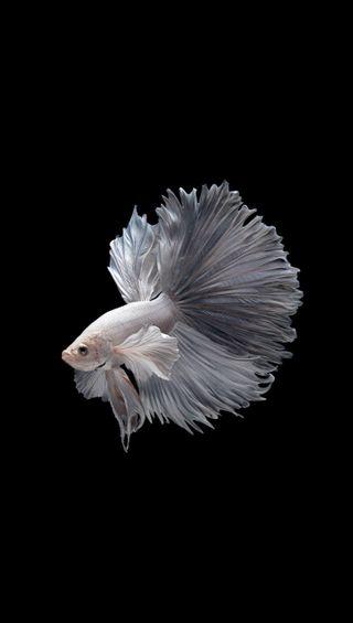 Обои на телефон черные, рыба, боец, белые, fighter fish 3