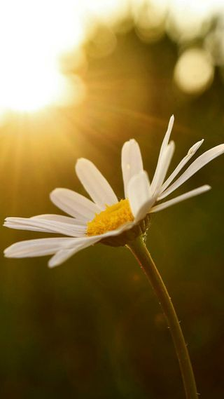 Обои на телефон маргаритка, цветы, природа, закат