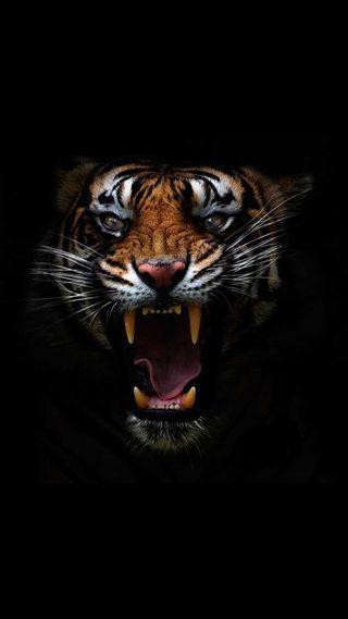 Обои на телефон тигр, лицо, коты, зубы, злые, животные, дикие, hd, big