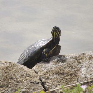Обои на телефон черепаха, ты, рептилия, пруд, природа, видеть, i see you turtle