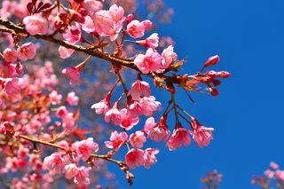 Обои на телефон сакура, цвести, природа, дерево, вид, весна