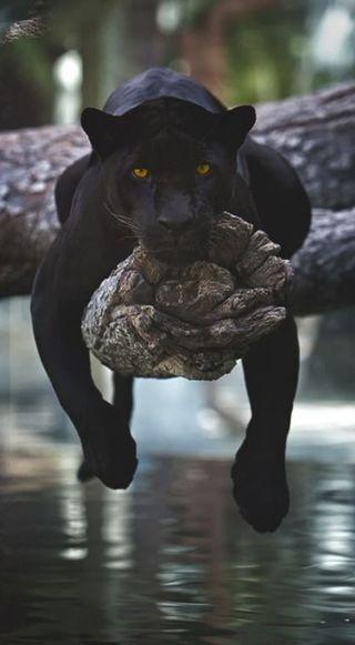 Обои на телефон черные, пантера, кошки, panthers