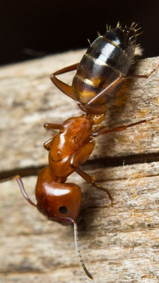 Обои на телефон насекомое, макро, дикая природа, ant