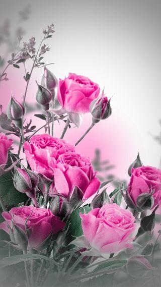 Обои на телефон природа, розовые, прекрасные, цветы, розы, романтика, цветочные